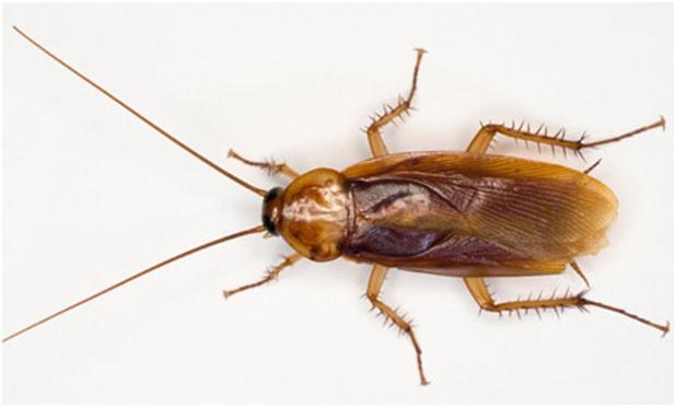 kill roaches naturally