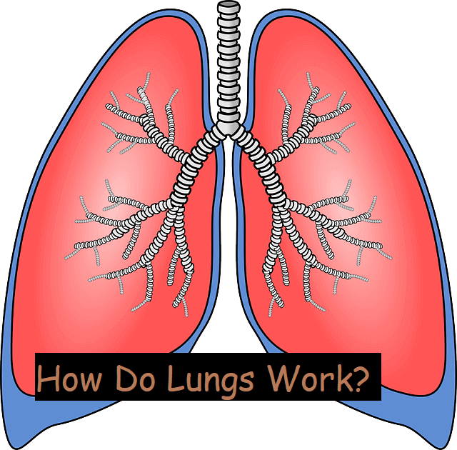 How Do Lungs Work?
